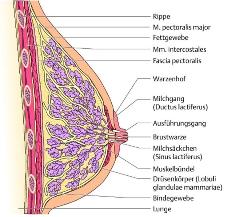 Die Mammographie - Anatomie - MTA-R.de